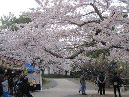 函館公園の桜 画像(2/5)