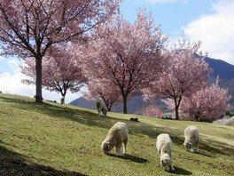 羊と桜(1/2)