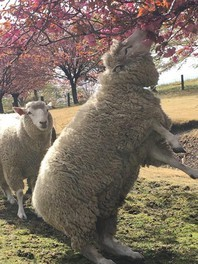 羊と桜(2/2)