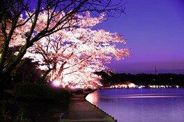 千波湖畔の桜 画像(3/3)