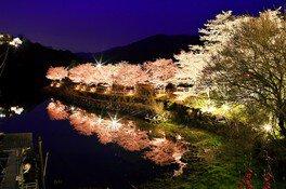 恵那峡の桜 画像(2/2)