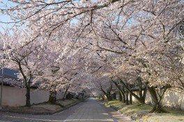 醍醐寺の桜 画像(2/2)