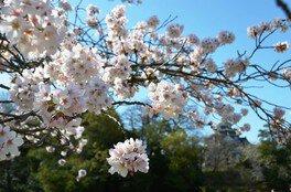 岡山後楽園の桜 画像(3/4)