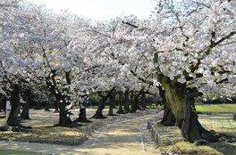 岡山後楽園の桜 画像(4/4)