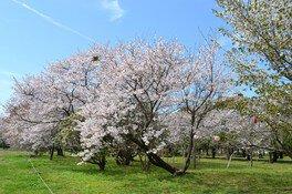 鏡野公園の桜 画像(2/2)
