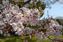 鏡野公園の桜 画像(3/5)