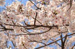 鏡野公園の桜 画像(4/5)