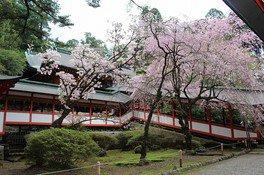 霧島神宮の桜 画像(2/4)