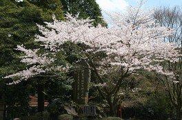 霧島神宮の桜 画像(3/4)