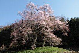 吉良のエドヒガン桜  画像(2/5)