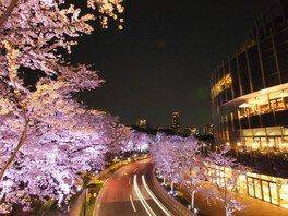 東京ミッドタウンの桜 画像(3/5)