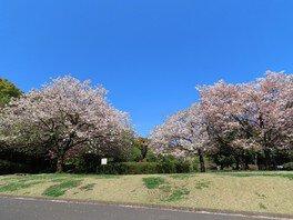 北の丸公園の桜 画像(4/5)