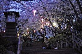 飛鳥山公園の桜 画像(2/2)
