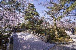 特別名勝兼六園の桜 画像(2/5)