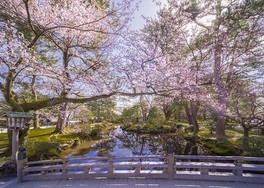 特別名勝兼六園の桜 画像(3/5)