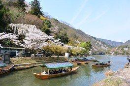 京都嵐山の桜  画像(2/2)