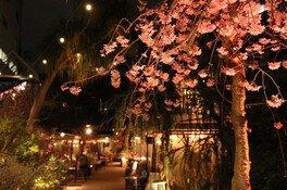 ライトアップされた夜桜の様子