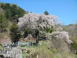 黒船桜の桜 画像(2/5)