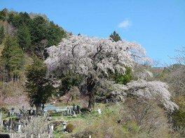 黒船桜の桜 画像(3/5)