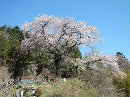 黒船桜の桜 画像(4/5)