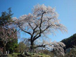 黒船桜の桜 画像(5/5)