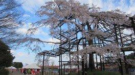 宇治公園内のしだれ桜