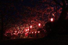 為松公園の桜 画像(2/5)