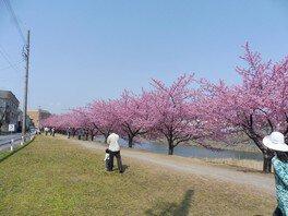 乙川の葵桜 画像(2/5)