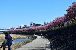乙川の葵桜 画像(3/5)