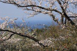 権現山展望公園の桜 画像(2/3)