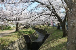 星田妙見宮(妙見河原)の桜 画像(2/3)