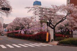 播磨坂さくら並木の桜画像(2/3)