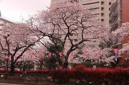 播磨坂さくら並木の桜画像(3/3)