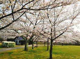 七尾市希望の丘公園の桜 画像(2/3)