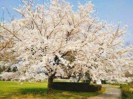 七尾市希望の丘公園の桜 画像(3/3)
