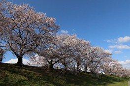 淀川河川公園背割堤地区の桜 画像(3/5)