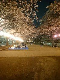 福岡中央公園の桜 画像(2/2)