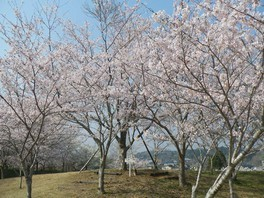 天神山公園の桜 画像(2/2)