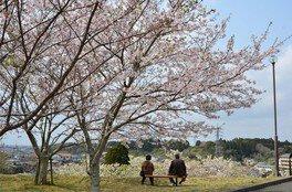天神山公園の桜 画像(3/3)