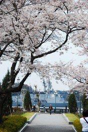 ヴェルニー公園の桜 画像(2/3)