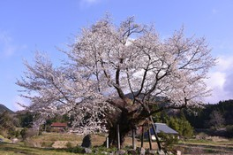 尾所の桜 画像(3/3)