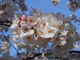 井の頭恩賜公園の桜 画像(2/4)