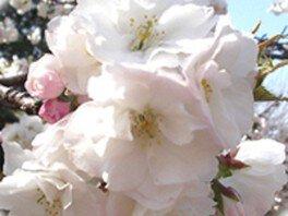井の頭恩賜公園の桜 画像(4/4)