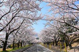 養老公園の桜 画像(4/4)