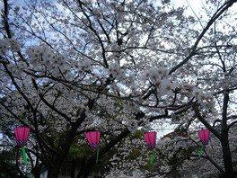勝山公園(小倉城)の桜 画像(3/5)