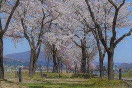 魚野川桜づつみの桜 画像(2/3)