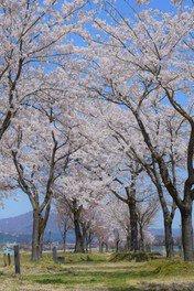 魚野川桜づつみの桜 画像(3/3)