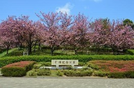 引揚記念公園の桜 画像(2/2)