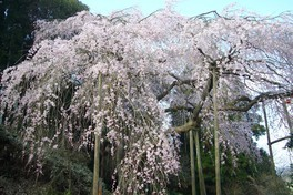 田ノ頭郷のしだれ桜(波佐見町) 画像(2/3)