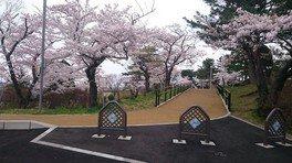 能代公園の桜 画像(2/2)